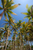 Upward view of green coconut palm trees. Royalty Free Stock Photos