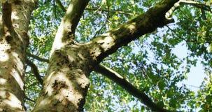 Upward view of huge tree in garden stock footage