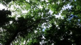 Upward view of moving through tree canopy in a temperate forest in summer. Time stock footage