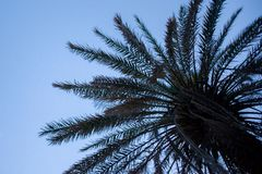 Upward View of Palm Tree under Blue Sky. Brown Leaf Fronds and Dried Branches Dropping from the side. Scaly Bark and Dry. Trunk of Tropical Perennial Plant stock photos