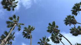Upward view of palm trees blowing in the wind during the day. Palmtrees are shown in a daytime view blowing in a strong wind, set against a blue and partly cloud stock video footage