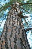 UPWARD VIEW INTO PINE TREE Royalty Free Stock Image