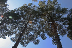 UPWARD VIEW OF PINE TREES Stock Images