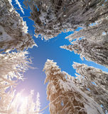 Upward view of the sky in a snowy forest Stock Photos