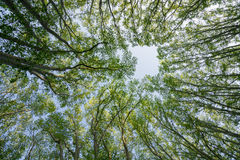 Upward view of spring trees with yellow leaves against blue sky Royalty Free Stock Photography