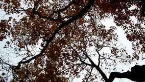 Upward view of the tall maple trees autumn park cinematic. Upward view of the tall maple trees and the several branches that you can see along with its leaves stock video