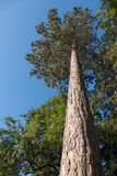Upward View To The Branches Of A Pine Tree Royalty Free Stock Photography