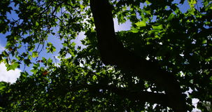 Upward view of tree in garden. During summer stock footage