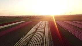 Aerial view of multi-colored tulip field. Upwards aerial pan of a multi-colored tulip field in the Netherlands at sunrise stock footage