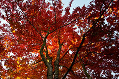 Upwards shot of maple tree in Autumn stock images