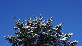 Snow covered pine tree branch against a clear blue sky royalty free stock photography