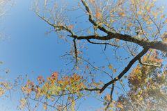 Upwards Tree. In a blue sky Royalty Free Stock Images