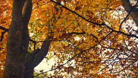 Upwards view in a Beech tree forest during a beautiful fall day stock video footage