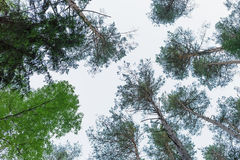 Upwards view in russian pine forest Stock Photography