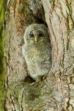 ural barn för owl Royaltyfria Bilder
