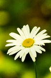 The Ural camomile Stock Photos