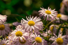 The Ural camomile Royalty Free Stock Images