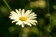 The Ural camomile Royalty Free Stock Image