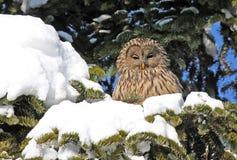 Ural Eule auf Zweig mit Schnee Stockbilder