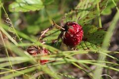 Ural Forest Strawberry en la hierba fotos de archivo libres de regalías