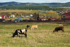 Ural mountains, village and cows on the meadow Royalty Free Stock Images