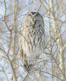 Ural Owl. Getting the Evil Eye from Ural Owl Royalty Free Stock Photos