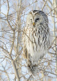 Ural Owl. Looking for next rodent meal Stock Photo