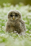 Ural Owl Stock Image