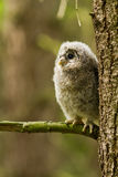 Ural Owl. An young Ural Owl in the forest Royalty Free Stock Photo