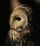 Ural Owl. Portrait of a Ural Owl Royalty Free Stock Photo
