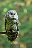 Ural Owl. On green background on branch Stock Photography