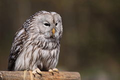 Ural owl. The ural owl sitting on the perch Stock Images