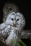Ural owl. Couple of ural owls sitting on a branch in zoo Stock Images