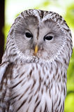An Ural Owl. Close-up on the head of the Ural Owl Stock Photography