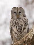 Ural owl. Portrait of Ural owl - Strix uralensis royalty free stock photos