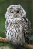 Ural owl. The ural owl sitting on the perch Royalty Free Stock Photo