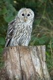 ural owl Royaltyfria Foton