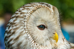 ural owl Royaltyfri Foto