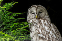 Ural Owl against black background. Bordered with green foliage Stock Photos