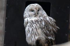 Ural owl Stock Photography