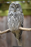Ural owl Royalty Free Stock Images