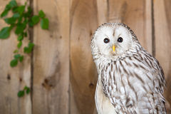 Ural Owl. A close up of a cute Ural Owl Stock Photo
