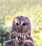 Ural owl close up Portrait Stock Photo