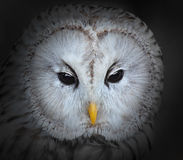 The Ural owl. Stock Images