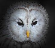 The Ural owl. Eyes of The Ural owl (Strix uralensis stock images