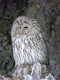 The Ural owl from the family of true owls. Large fluffy owl is perfectly camouflaged to its environment stock image