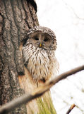 Ural owl. Fluffy Ural owl sitting in the hole in the trunk of a tree Royalty Free Stock Image