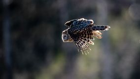 Ural owl flying against the light to catch a prey. Ural owl Strix uralensis flying against the light to catch a prey with a defocused background royalty free stock photo