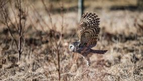 Ural owl flying close to the ground. Ural owl Strix uralensis flying close to the ground showing the feathered tarsus with a defocused background stock images
