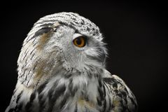 Ural Owl isolated on the black Background, strix uralensis royalty free stock images